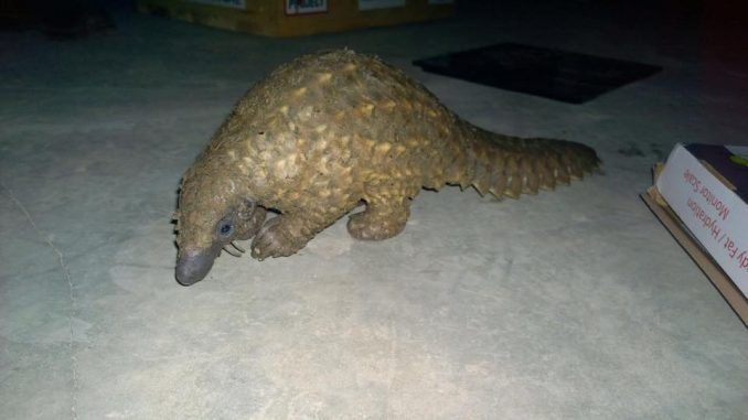 Pangolin Poachers Arrested In Zambia When Authorities Catch Them