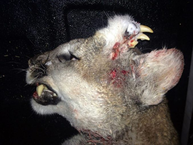 Strange Creature In Idaho Identified As A Mountain Lion
