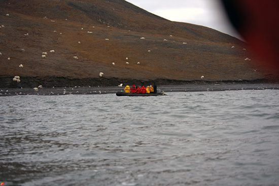 Tourists Think They're Approaching A Flock Of Sheep Wrangel Island — Wrong