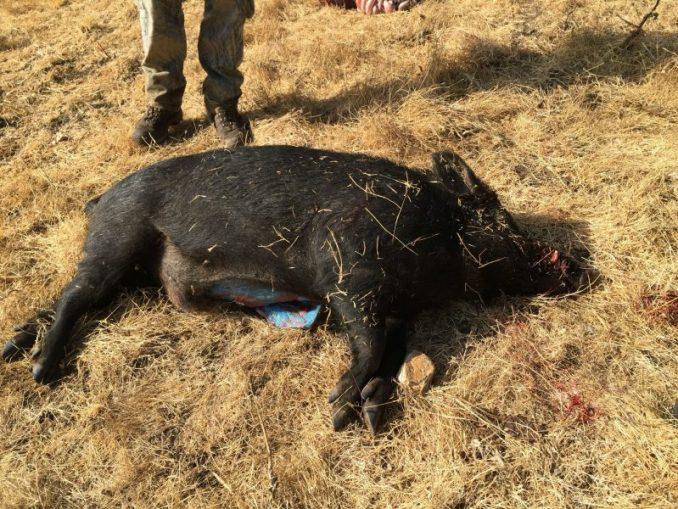 feral pig blue