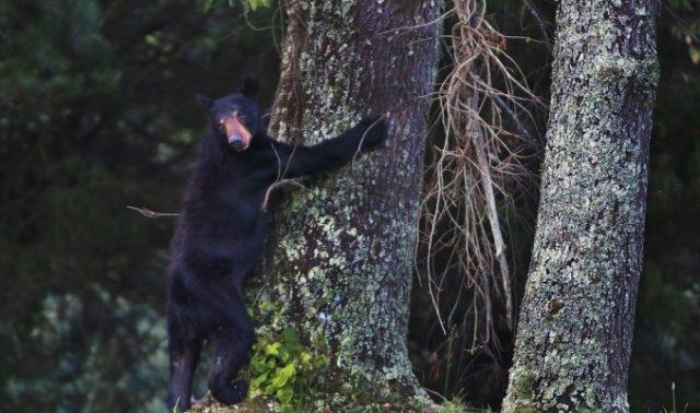 treed bear