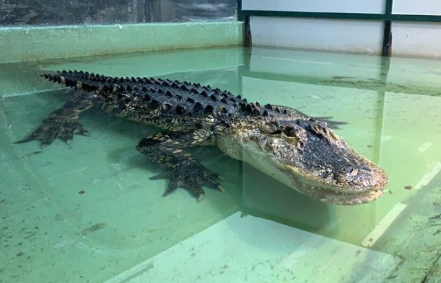 alligator enclosure